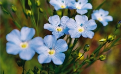 flaxflower_blue_LR